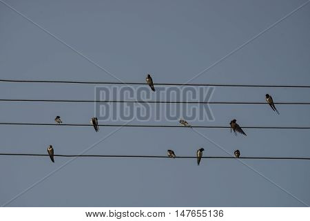 Swallows are sitting on the electrical wire blue sky background. Small birds resting. Estonian national bird. Kihnu small island in Estonia. Europe