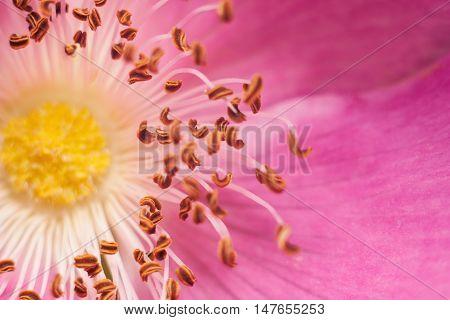 Flower rose petal in the daytime macro