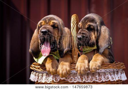 Beautiful puppies Bloodhound sitting in a basket. Two bloodhound puppy