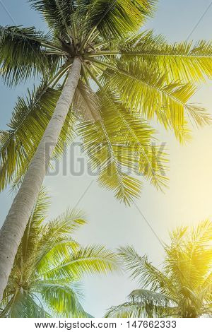 Low angle view on coconut palm trees