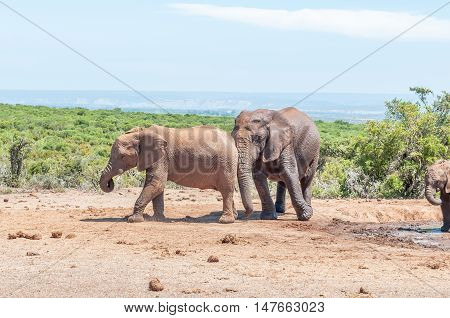 An African Elephant cow Loxodonta africana pushing her bigger calf out of the way