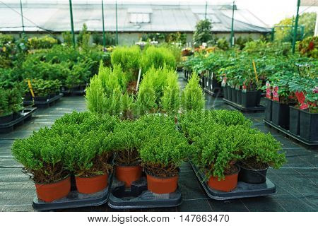 Different conifer trees in pots