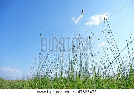 Meadow spikes on sky background