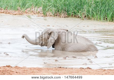 A smiling African elephant calf Loxodonta africana playing in a muddy waterhole