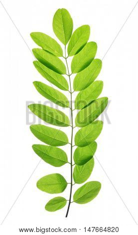 Fresh green spring leaf of Acacia or Black Locust  isolated on white background.