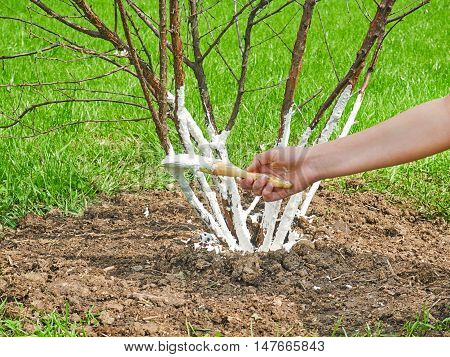 Hand girl whitens the trees. Protect plants from harmful insects.