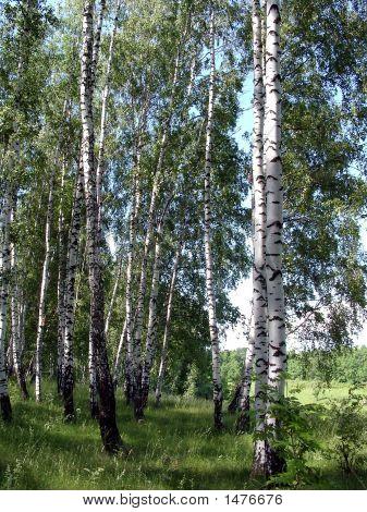 Russian Birches