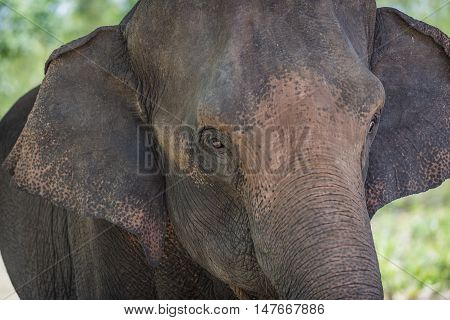 A close up photo of an elephant.Baby elephant playing alongside Mother in Thailand.