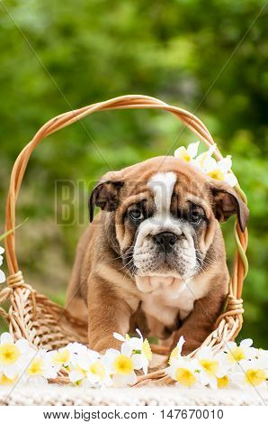 English bulldog puppy in a basket with flowers Narciso