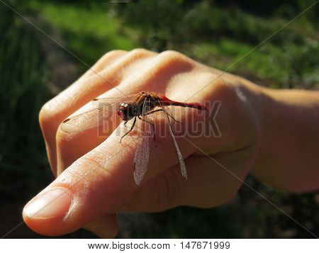 Dragonfly sitting on a female hand in the morning light