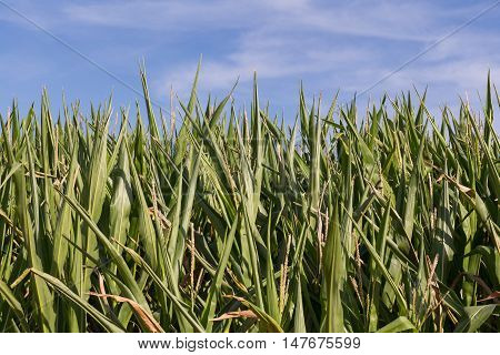a cornfield in bavaria in summer, blue sky behind