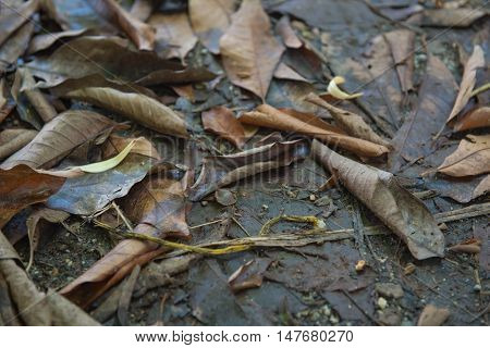 Brown many leaves wet on dry ground. With background