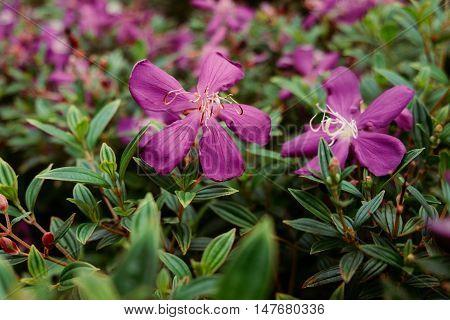 Purple wild flowers Melastoma malabathricum Malabar melastome (Indian rhododendron) flower