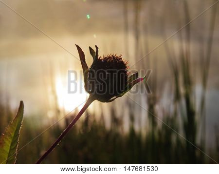 The inflorescence of a plant on a background of the rising sun and the water surface