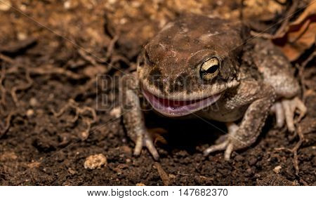 Side portrait of common Indian toad with its mouth open.