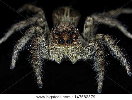 Platycryptus undatus, male tan spider isolated on black background