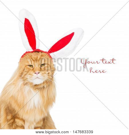 Big adorable ginger maine coon cat in christmas rabbit ears head rim. Isolated on white background. Copy space. Square composition.