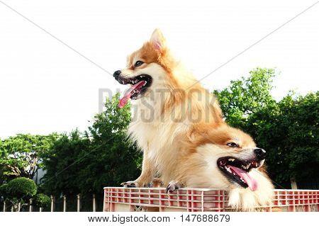 Family Brown Pomeranian dog portrait beautyful  summer outdoor background