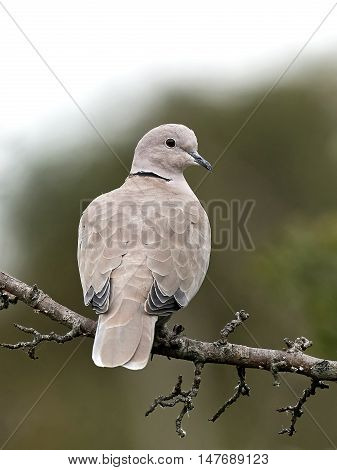 Eurasian collared dove (Streptopelia decaocto) sitting on a branch with vegetation in the background