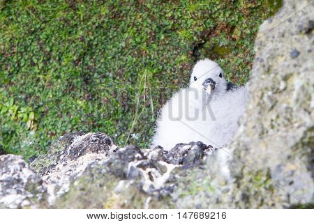 Chick Of A Kittiwake