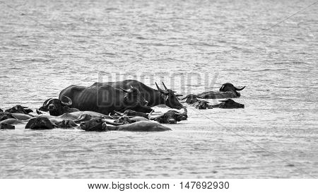 Abstract background in black and white : The crowd of Thailand Buffaro