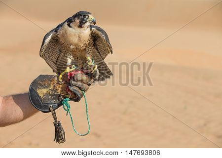 Peregrine falcon sitting on a hand of its trainer in a desert near Dubai