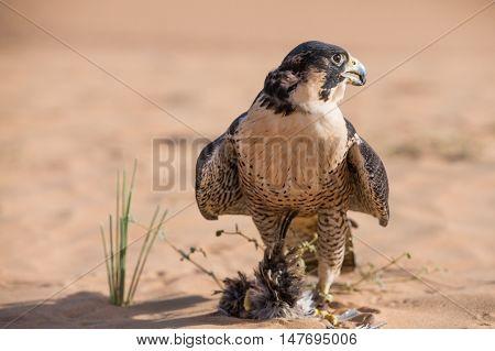 Peregrine falcon in a desert near Dubai