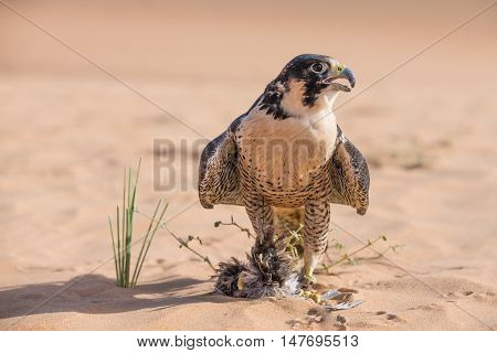 Peregrine falcon with a prey in a desert near Dubai