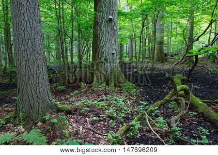 Old oak tree broken branch lying and old natural deciduous stand in background, Bialowieza Forest, Poland, Europe