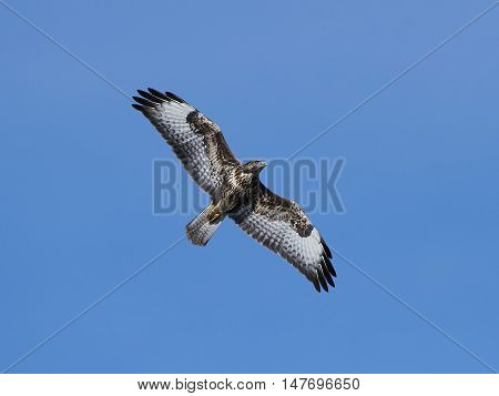 Common buzzard (Buteo buteo) in flight with blue skies in the background