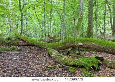 Moss wrapped old oak tree broken lying in autumnal ladscape of deciduous stand, Bialowieza Forest, Poland, Europe