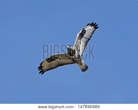 Rough-legged buzzard (Buteo lagopus) in flight with blue skies in the background