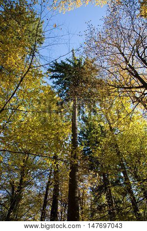 Autumnal mixed forest with dry leaves in sunnny day with spruce in middle, Bialowieza Forest, Poland, Europe