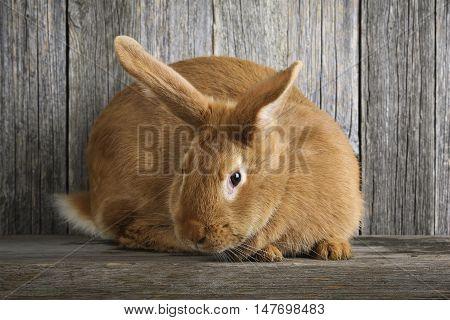 beautiful orange rabbit on a wooden background