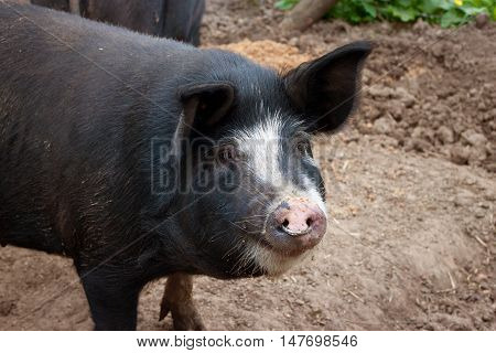 Funny friendly pig on a belgian farm.