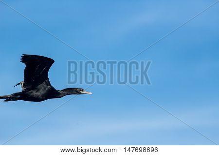 Cormorant Bird flying in the blue sky