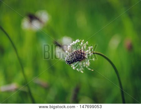 Closeup of a flowering Narrowleaf Plantain or Plantago lanceolata in its own natural habitat. It is a sunny in the beginning of the summer season.