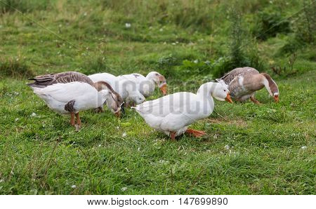 flock of geese grazing on green grass