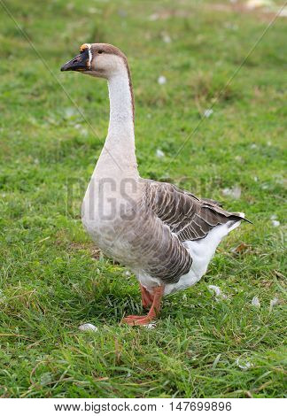 portrait of a goose on the green grass