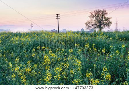 Field covered with rape Early morning May landscape. Masuria Poland.