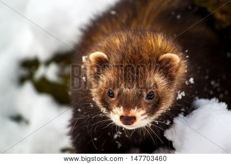 Portrait of little ferret in the snow.