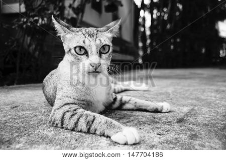 cute moment of a thai cat laying on a ground in black and white color picture style