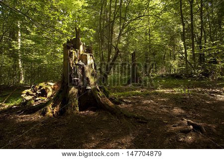 rotten stump of big old tree in natural forest