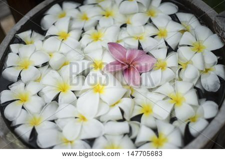 close up of pink franjipani plumeria flower floating among white flower on water in wooden basin at thai spa,selective focus,filtered image