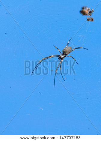 big spider with striped legs sitting on a thin web on a background of blue sky Australia