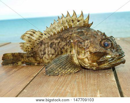 Black Sea Scorpaena - ruff - an unexpected fishing trophy