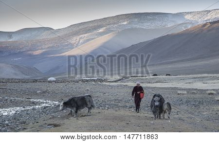 Bayan Ulgii Mongolia September 30th 2015: a woman walking with her yaks in early morning
