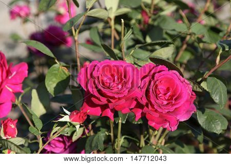Two roses.Flowers. Fragment of a bush of red and claret roses. Horizontal photo.