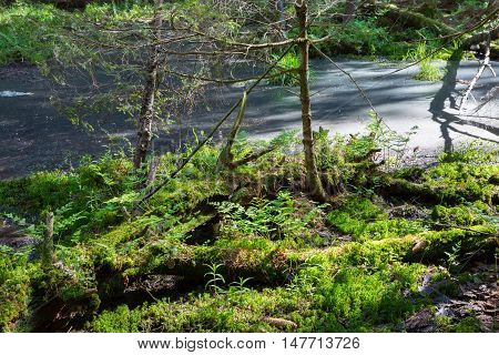 Slow stream flowing and sphagnum moss in foreground in spring, Bialowieza Forest, Poland, Europe