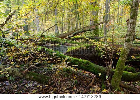 Autumn forest landscape with broken trees strictly nature protection area, Bialowieza Forest, Poland, Europe